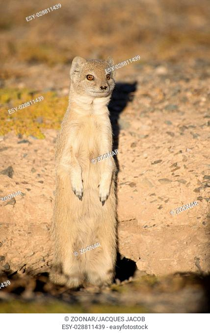 Mongoose on hind legs
