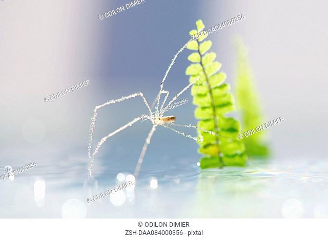Translucent spider covered in dew drops