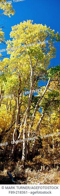 Aspens in autumn gold under blue sky [Populus tremuloides]. Ansel Adams Wilderness, Parker Lake, CA