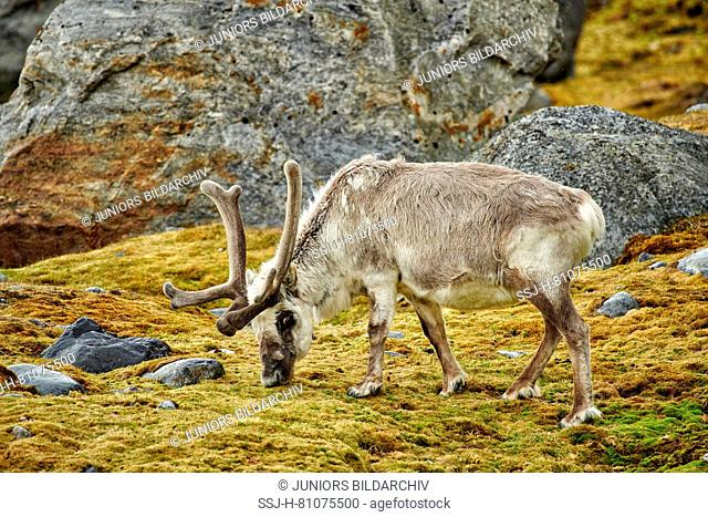 Svalbard Reindeer (Rangifer tarandus platyrhynchus). Bull in velvet grazing in tundra in summer. Svalbard