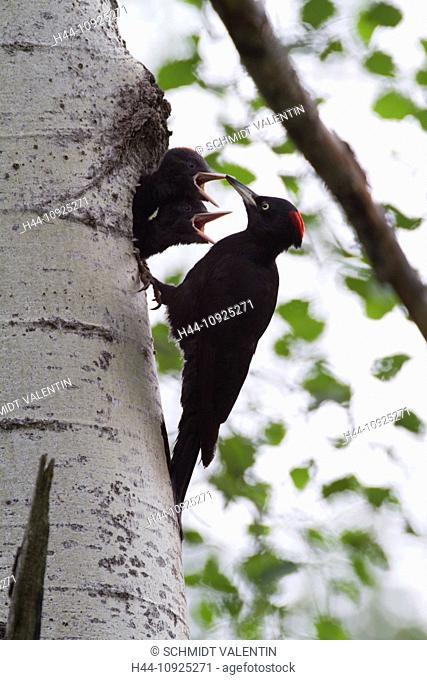 Graubünden, Grisons, Switzerland, animal, black woodpecker, dryocopus martius, woodpecker, bird, tree, birch