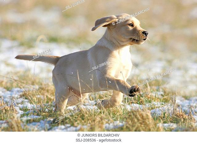 Labrador Retriever. Yellow puppy running on snow. Germany