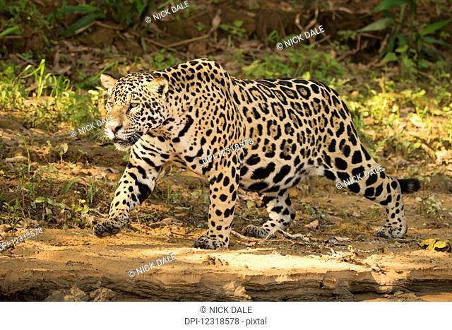 Jaguar (Panthera onca) prowling beside river in dappled sunlight; Mato Grosso do Sul, Brazil