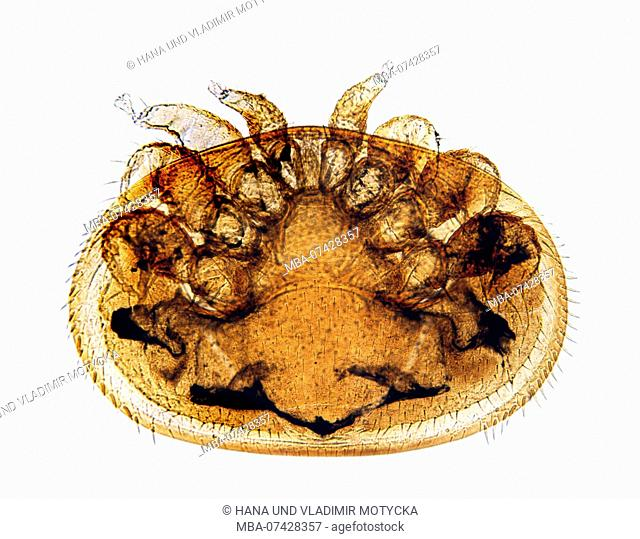 Microphoto of female of Parasitic Bee Mite (Varroa destructor)