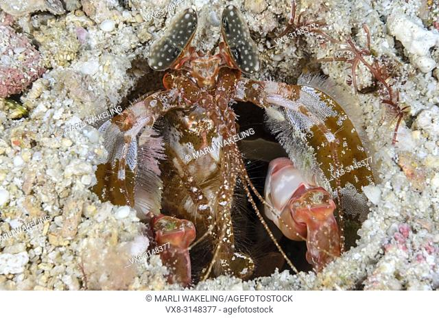 Lisa's mantis shrimp, Lysiosqillina lisa, Verde Island, Batangas, Philippines, Pacific