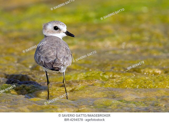 Lesser Sand Plover, standing in a swamp, Quryyat, Muscat Governorate, Oman