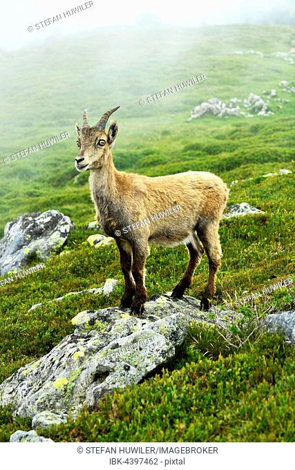 Young Alpine ibex (Capra ibex) standing on a rock, Bernese Oberland, Canton of Bern, Switzerland