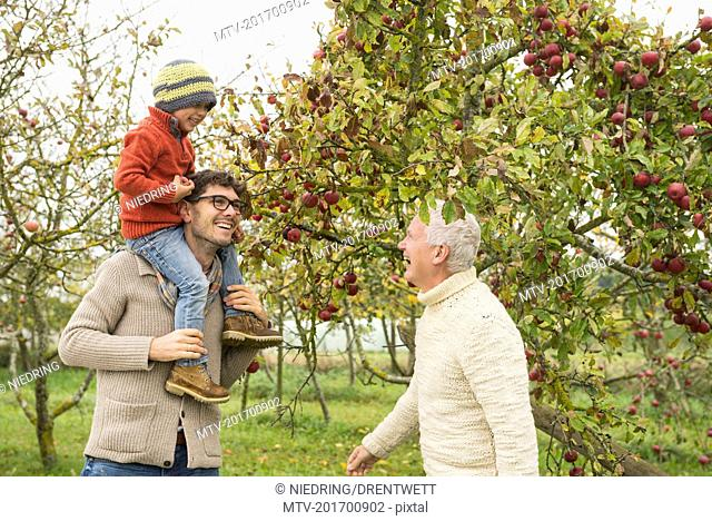 Father, son and grandfather picking apples from apple tree in an apple orchard, Bavaria, Germany
