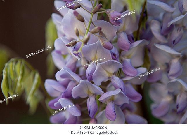 Wisteria flowers, close up