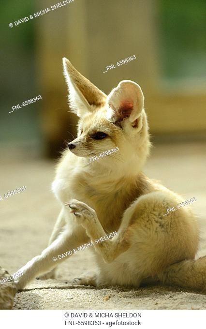 Fennec fox in Augsburg Zoo, Bavaria, Germany