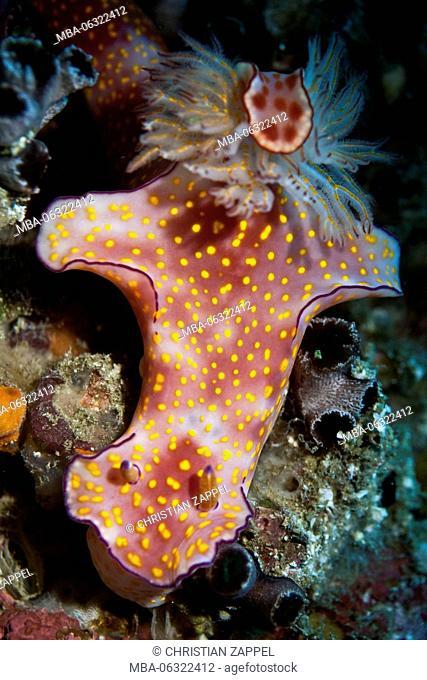 Sea slug, Ceratosoma trilobatum, Gulf of Oman, Oman, Asia