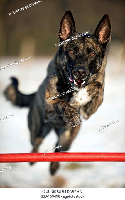 Belgian Shepherd Dog, Malinois jumping over a hurdle