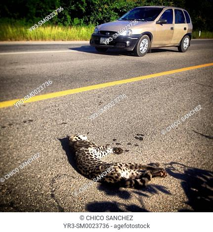 An ocelot, a small jaguar, lies dead, killed by a car in the road between Merida and Campeche in Yucatan Peninsula in Mexico