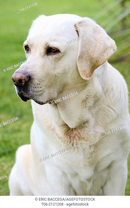 Male Labrador dog, 7 years (Canis familiaris)