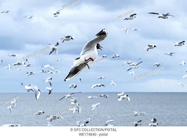 Flock of Black-headed gull (Chroicocephalus ridibundus), North Sea coast, Schleswig-Holstein, Germany