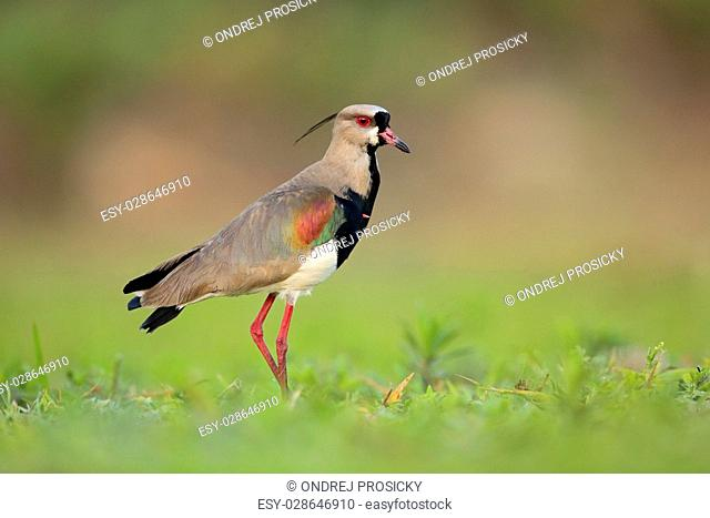 Southern Lapwing, Vanellus chilensis, water exotic bird