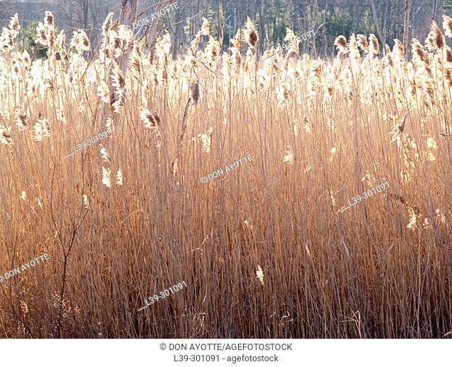 Marsh grass. Westford. Massachusetts, USA