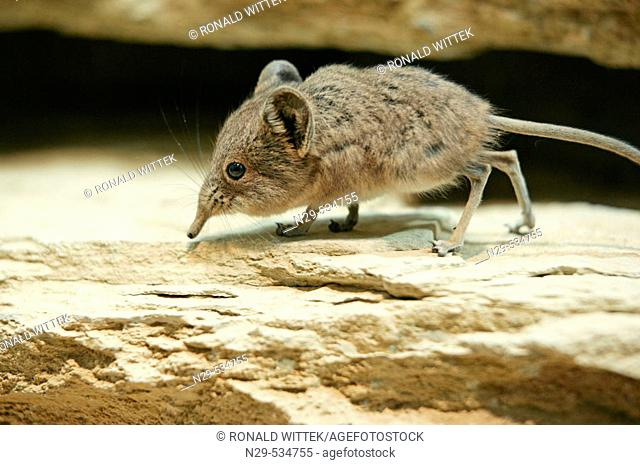 Short-eared Elephant Shrew, Macroscelides proboscideus, on a rock