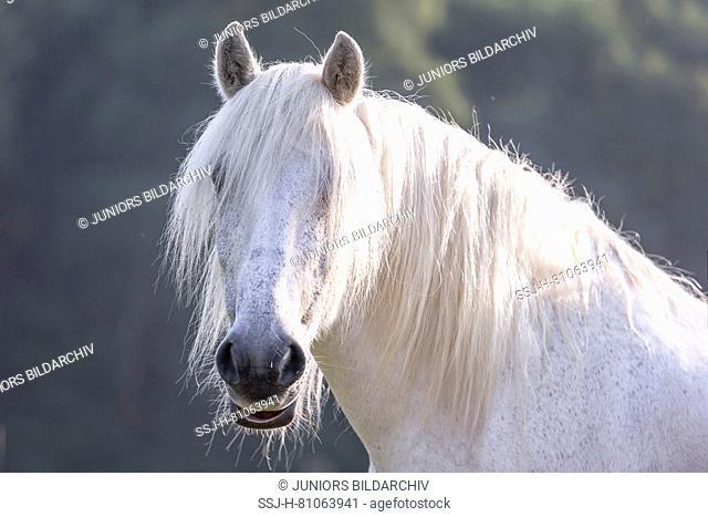 Highland Pony. Portrait of adult gray gelding. Germany