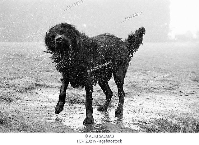 Dog shaking dry, Kitsilano Beach, Vancouver, British Columbia