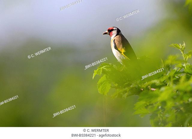 Eurasian goldfinch (Carduelis carduelis), on a branch, Germany, North Rhine-Westphalia, NSG Dingdener Heide