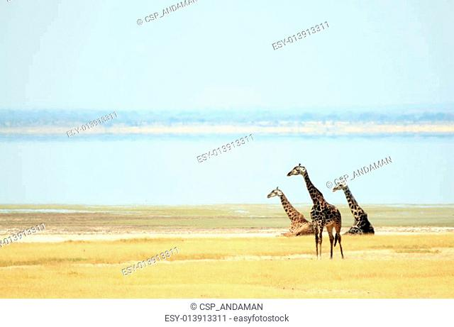 Maasai Giraffes (Giraffa Tippelskirchi) at Lake Manyara, Tanzania