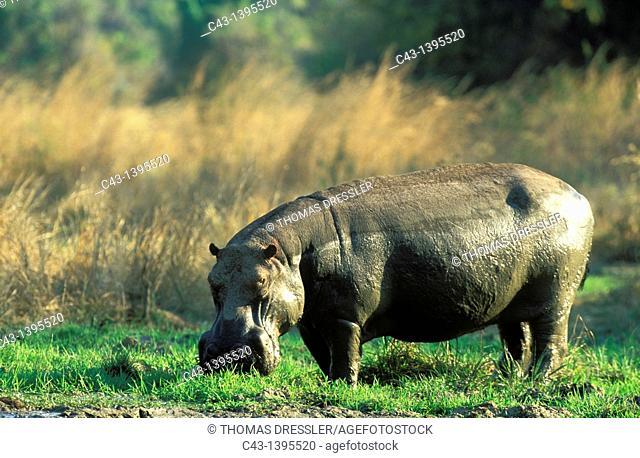 Hippopotamus Hippopotamus amphibius - Bull at a waterhole  South Luangwa National Park, Zambia