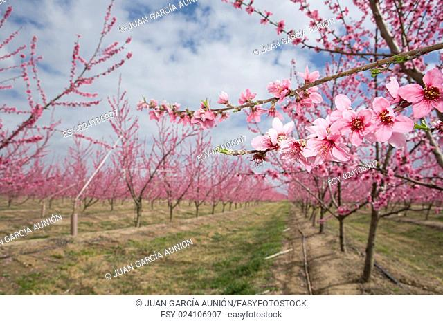 Blossoming peach plantation trees in field on background of cloudy sky, Badajoz, Spain