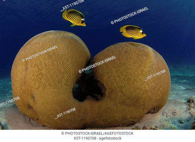 Two Diagonal Butterflyfish Chaetodon fasciatus, also known as the Red Sea Raccoon Butterflyfish, swim over a Brain coral Favia sp  This species of butterflyfish...