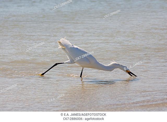 Snowy Egret Egretta thula feeding in lagoon Fort Myers beach Gulf Coast Florida USA