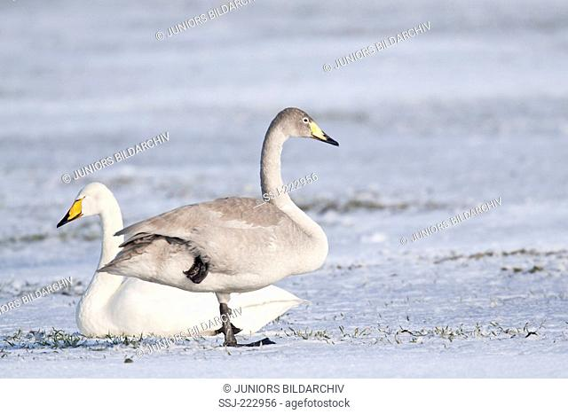 Whooper Swan (Cygnus cygnus) adult and cygnet resting on a snow covered meadow standing on a snowy meadow during the migration, Schleswig-Holstein, Germany