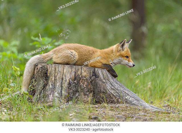 Red Fox, vulpes vulpes, Young fox lies on tree trunk, Germany, Europe