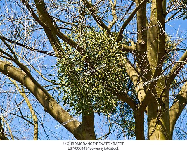 Mistletoes, Viscum album