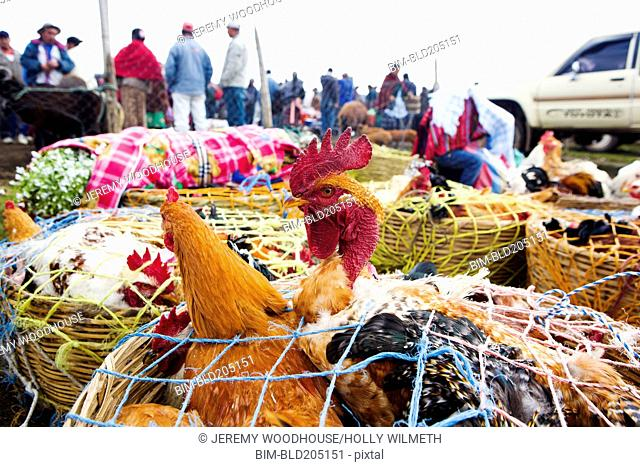 Chickens for sale at farmer's market