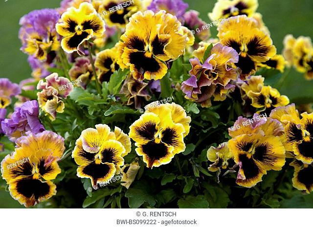 Pansy, Pansy Violet (Viola x wittrockiana, Viola wittrockiana, Viola hybrida), blooming