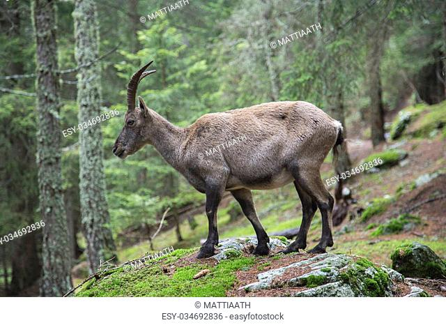 Female alpine ibex, Capra ibex, in a wood climbing a rock