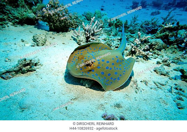 Bluespotted ribbontail ray, Egypt, North Africa, Sinai, Sharm el Sheik, Red Sea, ray, rays, vertebrate, elegant, dange