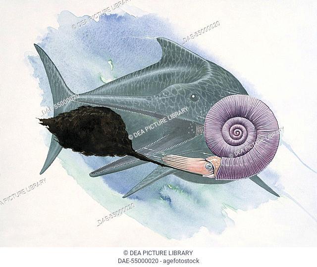 Palaeozoology - Cretaceous Period - Cephalopoda - Ammonite (art work by Graham Rosewarne)