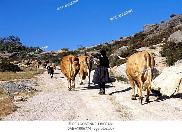 Cattle in the surroundings of Castro Laboreiro, Peneda-Geres National Park (Parque Nacional da Peneda-Geres), Portugal