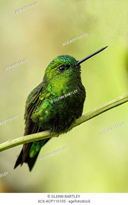 Black-thighed Puffleg (Eriocnemis derbyi) perched on a branch in the Andes Mountains of Colombia