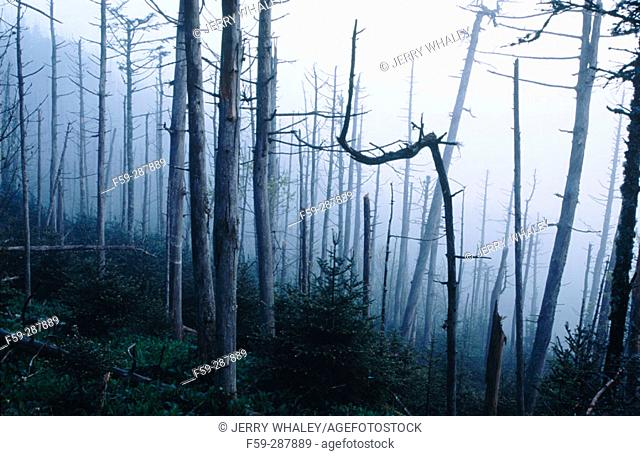 Dead fraser firs (Abies fraseri). Mount Le Conte. Great Smoky Mountains National Park. Tennessee. USA