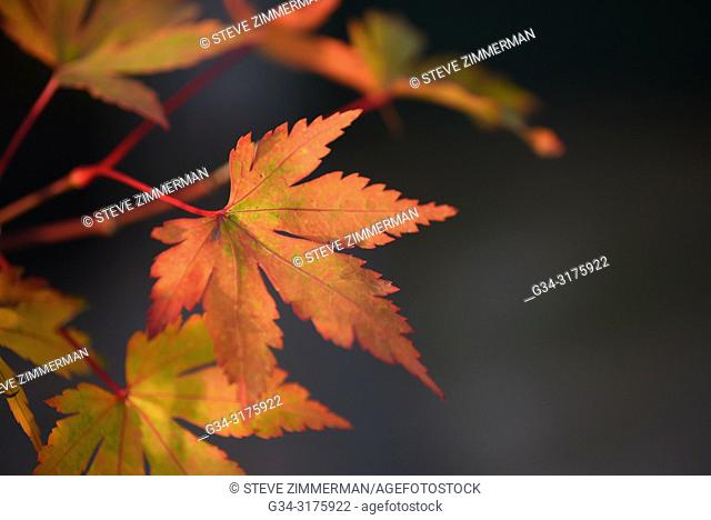 Maple Fall. Maltby. Washington. USA
