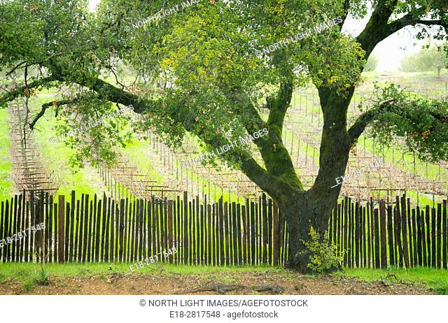 USA, CA, Healdsberg. Sonoma Valley vineyards with a large deciduous tree in the foreground