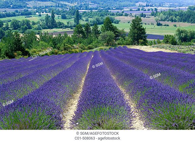 Blooming lavender field. Provence. France