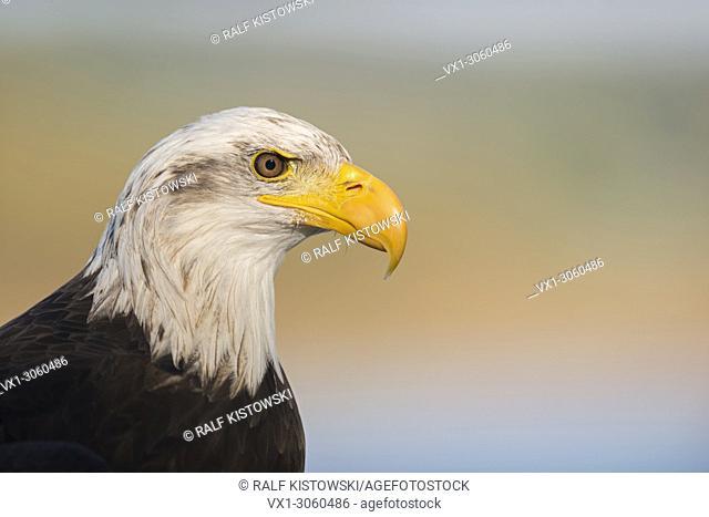 Bald Eagle ( Haliaeetus leucocephalus ), headshot, portrait of an American Eagle