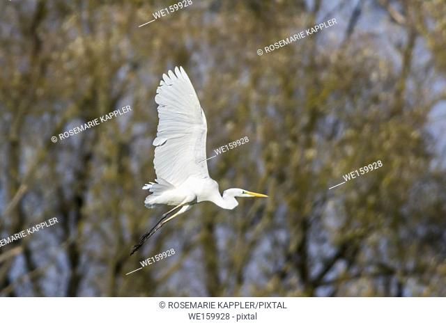 A great egret is searching for fodder in Beeder Bruch