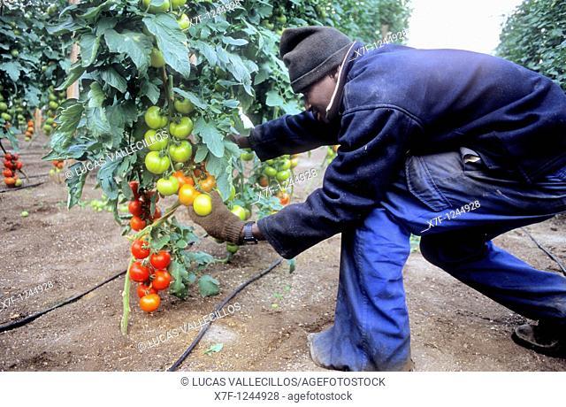Greenhouse  Picking tomatoes Campo de Nijar,Nijar, Almeria province, Andalucia, Spain