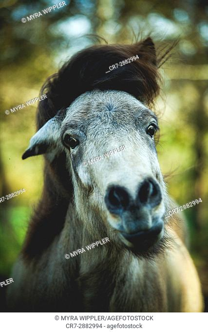 Colorful Icelandic horse