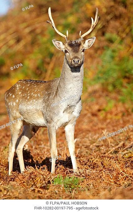 Fallow Deer Dama dama young buck, standing amongst bracken, Bradgate Park, Leicestershire, England, autumn