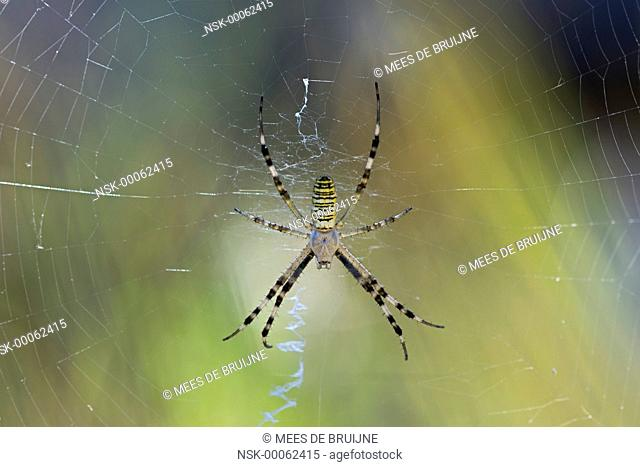 Wasp Spider (Argiope bruennichi) in his web, France, Rhone-Alpes, Parc Naturel Regional du Vercors